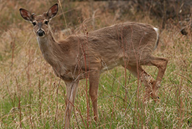 Young mule deer (Photo by NCC)