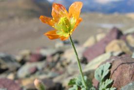 Alpine glacier poppy (Photo by GlacierNPS/Wikimedia Commons)