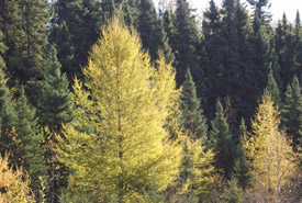 American larch (Photo by Superior National Forest)