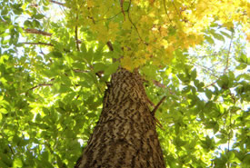 American Chestnut (Photo by Norfolk County)
