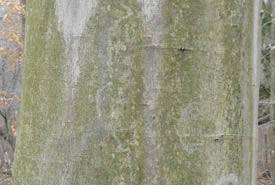 American beech bark (Photo by Bernt Solymar)