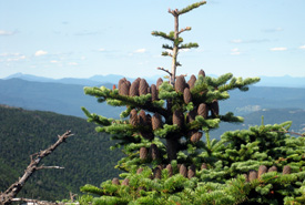Balsam fir (Photo by Wikimedia Commons)