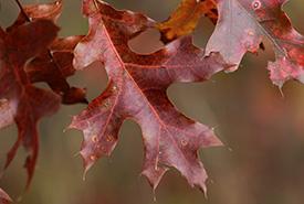 Black oak, Rice Lake Plains, ON (Photo by Chelsea Marcantonio)