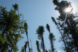 Black spruce (Photo by NCC)