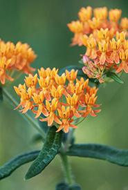 Asclépiade tubéreuse, Plaines du lac Rice, Ont. (Photo de CNC)