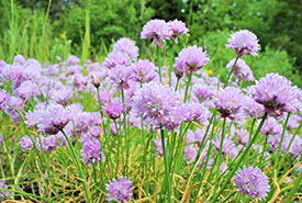 Chives, Camden Alvar East, ON (Photo by NCC)