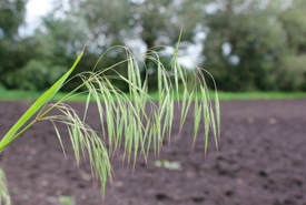 Downy brome (Photo by Nicole Kimmel, Alberta Agriculture and Forestry)