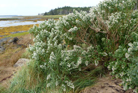 Eastern baccharis, Lobster Bay, NS (Photo by Anthony Crawford)