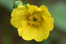 Eastern mountain avens (Photo by June Swift)