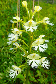 Eastern prairie white-fringed orchid, ON (Photo by NCC)