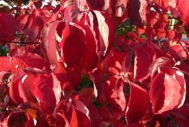 Cornouiller fleuri à l'automne (Photo de Bernt Solymar)