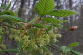 Flowering American Beech (Photo by Mary Gartshore)