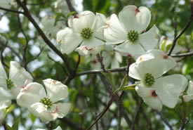 Flowering Dogwood blooms (Photo by Bernt Solymar)