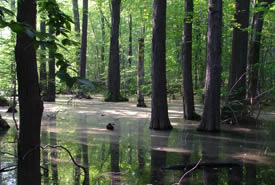 Forested wetlands in summer (Photo by Mary Gartshore)