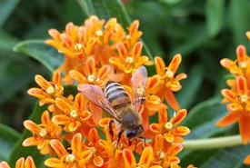 Honeybee on butterflyweed (Photo by NCC)