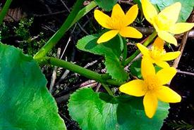 Marsh marigold (Photo by NCC)