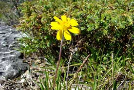 Lakeside daisy (Photo by NCC).