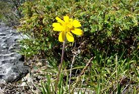 Lakeside daisy (Photo by NCC)