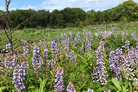 Wild lupine growing after prescribed burn (photo by NCC)