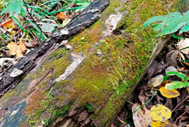 New liverworts to Manitoba on decaying log (Photo by Richard Caners)