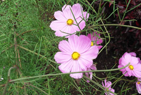 Pink coreopsis (Photo by Yercaud Elango/Wikimedia Commons)