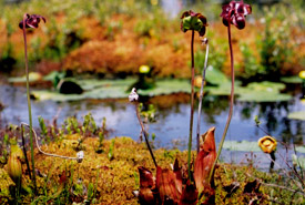 Purple pitcher plant (Photo by Mark Alexander MacDonald)