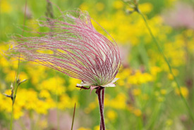 Prairie smoke, Camden Alvar East, ON (Photo by NCC)