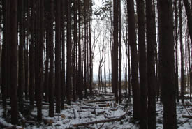 Red pine (Photo by Norfolk County)
