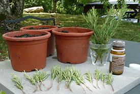 Rosemary cuttings (Photo by Cristina Sanvito)