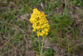 Showy goldenrod is a popular plant in mixed, fescue and tall grass prairie (Photo by Diana Bizecki Robson)