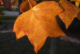 Tuliptree leaf in fall (Photo by Bernt Solymar)