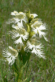 Western prairie fringed orchid (Photo by NCC)