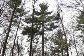 White Pine (Photo by Bernt Solymar)