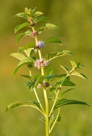Wild mint (Photo from Wikimedia Commons by Ivar Leidus)