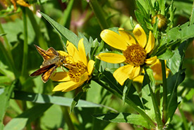 Woodland skipper butterfly on beggartricks at Chase Woods (Photo by Ren Ferguson)