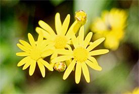 Arnica flower (Photo by D Windrim)
