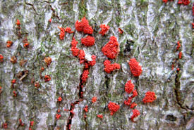 Beech bark disease (Photo by Patrick Hodge/Ontario Ministry of Natural Resources)