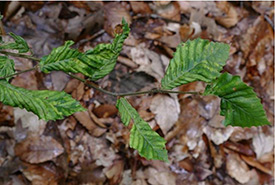 Late stage leaf deformation (Photo by John Pogacnik, Ohio Department of Natural Resources)