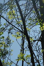 Black ash (Photo by carolinianconnor CC BY-NC)