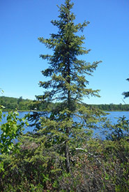 Black spruce (Photo by David Legros, iNaturalist, CC BY-NC 4.0)