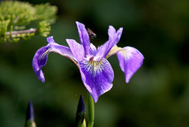 Blue flag iris (Photo by Mike Dembeck)