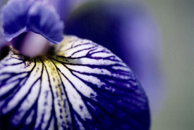Blue Flag Iris (Photo by NCC)