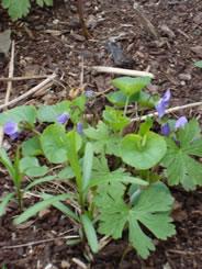 Blue violets (Photo by NCC)