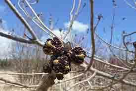 Buds on a black ash tree (Photo by NCC)
