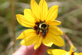 Bumblebee visiting a sunflower (Photo by Diana Bizecki Robson)