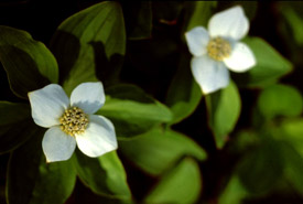 Bunchberry (Photo by Jean Isaacs)
