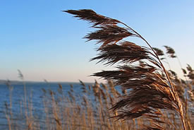 Phragmites (Photo by Wikimedia Commons)