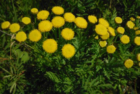 Common tansy, MB (Photo by NCC)
