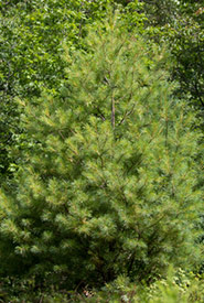 Eastern white pine (Photo by John D Reynolds, iNaturalist, CC BY-NC 4.0)