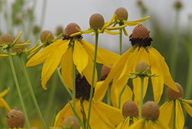 Grey-headed coneflower, Pelee Island, ON (photo by NCC)